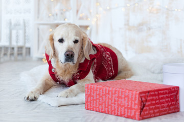 Adorable Golden Retriever Dog Wearing in Red Coat on White Scandinavian Textile Decorative Coat near Christmas Present Boxes in House or Hotel. Pets care friendly concept.