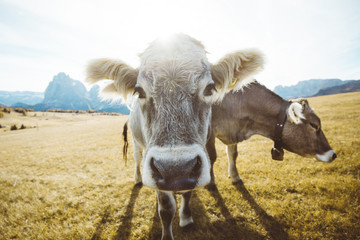 Funny cows on alpine meadows staring into camera