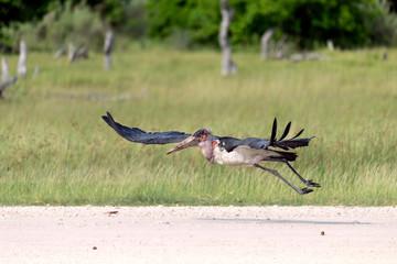 Marabou Stork taking off from a dirt runway in the Okavango Delta, Botswana