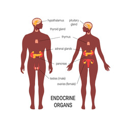 Male endocrine organs. Simple vector infographic in flat style