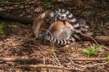 Ringtaled Lemur Katta in the Monkeyland Primate Sanctuary