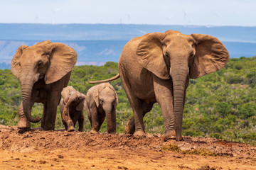 Elephant in the Addo Elephant National Park