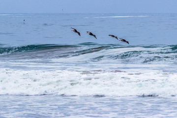 A flock of pelicans crossing the sky at Totoralillo beach in the Pacific Ocean and amazing place for wildlife and bird watching at Atacama Desert, Coquimbo, Chile