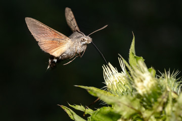 Hummingbird hawk-moth (Macroglossum stellatarum) hovering in front of blossom