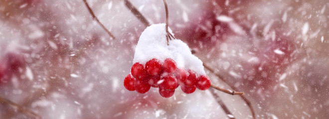 Red berries of viburnum in the snow, a cold winter day after a snowfall