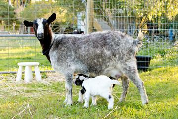 Newborn Baby kid miniature goat and nursing doe in grassy paddock