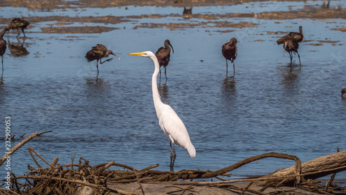 Great Egret On Prowl >> Great Egret And Other Wading Birds On A Mud Flat During A Low Tide