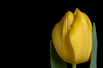 Yellow tulip flower on black background