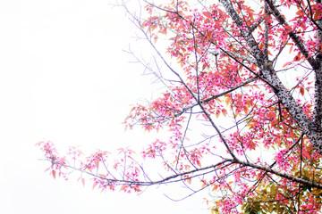 Sakura of brance at sky.
