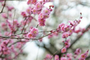 京都 北野天満宮 梅