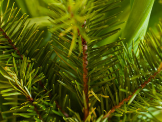 Bright green pine branches perfect for cheery holiday season and Christmas backgrounds