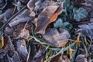 Fallen brown leaves lie on the grass covered with frost after the first frost.