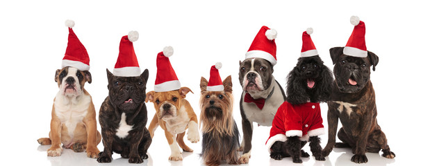 seven lovely santa dogs of different breeds sitting and standing
