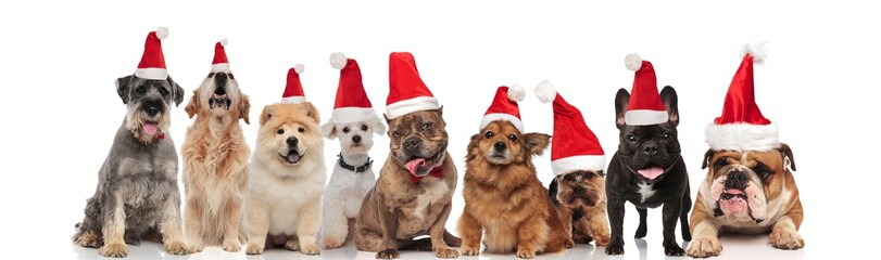adorable team of dogs wearing santa claus costumes