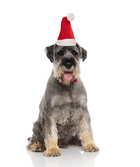 cute grey furry dog wearing a santa hat sitting
