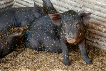 black small pigs in farm