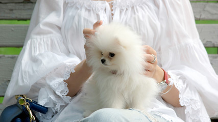 Faceless woman with cute white pomeranian puppy. Adorable white pomeranian puppy in female hands. People and pets concept.