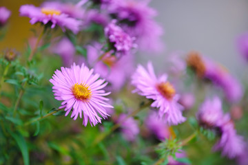 Autumn flowers (botanical name: Aster novi-belgii or Symphyotrichum novi-belgii)