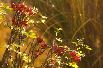 Hagebutten in der goldenen Herbstsonne