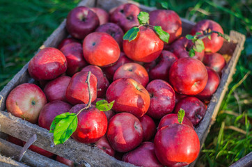 Ripe apples close up. Harvesting apples