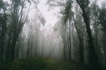foggy natural woods, wilderness background