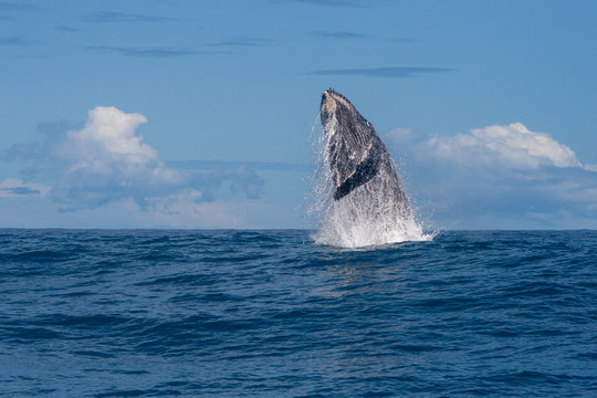 Humpback whale starting to breach, Coral Bay, Western Australia