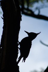 Silhouette of Magellanic Woodpecker (Campephilus magellanicus) on tree, Tierra del Fuego, Patagonia, Argentina, South America