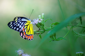 Beautiful Indian Jezebel Butterfly sitting on the flower plant in its natural habitat