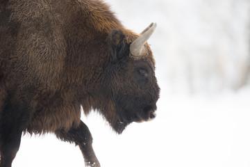 Fototapeta European bison - Bison bonasus in the Knyszyn Forest (Poland)