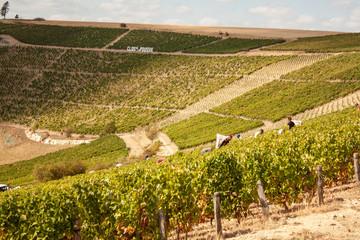Vendanges des vignes de Sancerre