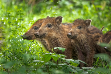 The wild boar (Sus scrofa), also known as the wild swine. Three little pigs standing in green grass. Animals in nature habitat.