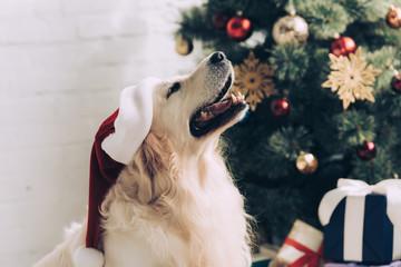 cute golden retriever in santa hat sitting near christmas tree at home