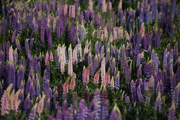 Lupin landscapes on South Island, New Zealand