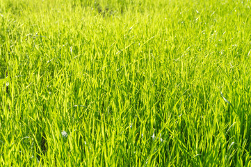 Green Grass in Sunlight Background.
