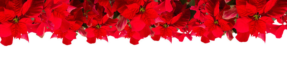 extra wide border of fresh scarlet poinsettia flower or christmas star on a white background