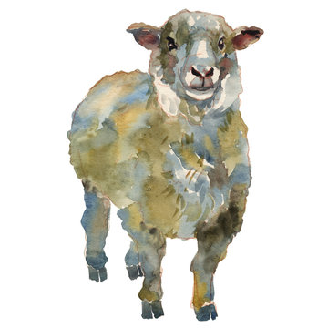 The sheep watercolor hand painted illustration