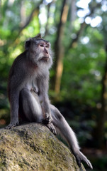 Monkey Forest Ubud is the sanctuary or natural habitat of Balinese long tailed Monkey in Bali Island, Indonesia