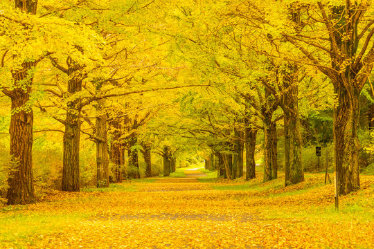 Tunnel of ginkgo trees