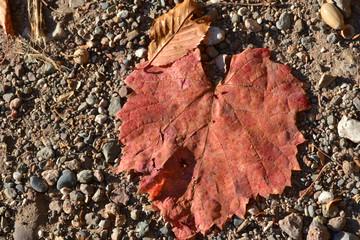 feuilles de vigne orangées en automne, été indien
