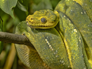 Green Tree Python, Chondropython viridis in a typical position, twisted on a branch