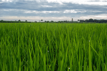 Wall Mural - beautiful rice field in the morning with dew drops water