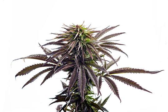 purple marijuana strain flower bud cannabis plant