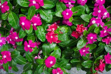 foliage vinca flowers