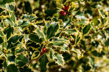 Christmas holly Ilex aquifolium Argentea Marginata on blur background. Graceful fringed leaves with red berries are waiting for the New Year. Nature concept for design