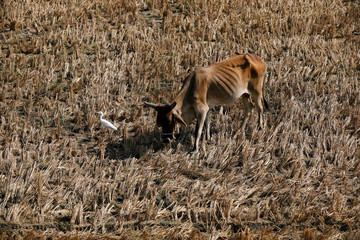 A pet cow grazes beside a seagull over a cultivated land in Gharo,