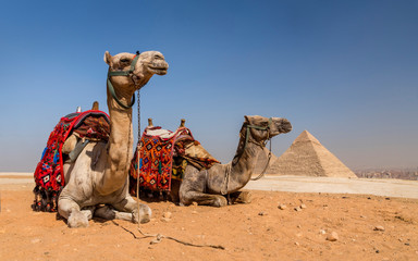 Camels with the Pyramids of Gizeh, Egypt