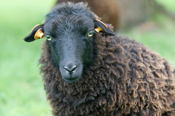 Head shot of a ouessant sheep Wall mural