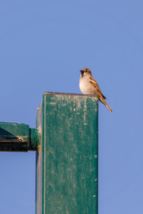 Small sparrow on top of column at morning