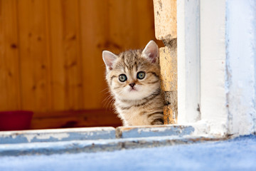 Cute lonely little brown British kitten sitting in the doorway of a brick wall and looks into the camera