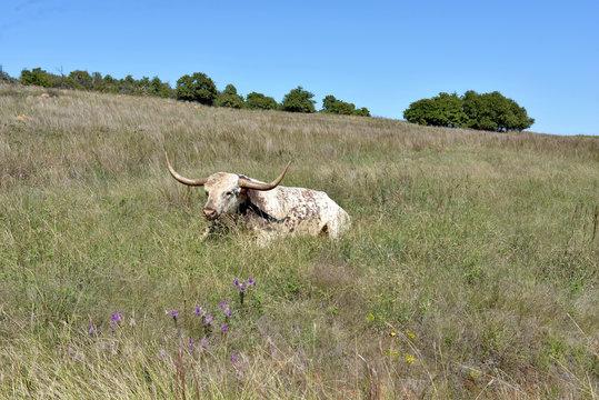 Texas Longhorn Steer at the wichita mountains wildlife refuge Oklahoma